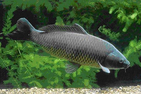 Priče sa ribolova Common_carp-735077