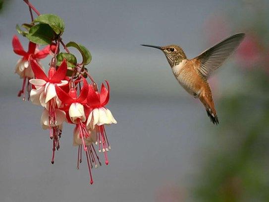 Razne ptice - Page 4 Kolibric